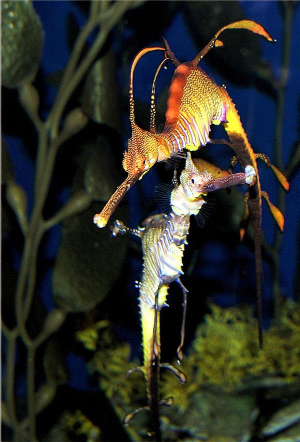 Морские драконы